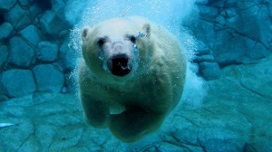 polar-bear-swimming-underwater